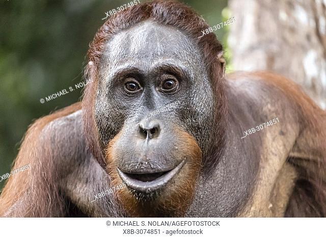 Male Bornean orangutan, Pongo pygmaeus, at Camp Leakey dock, Borneo, Indonesia