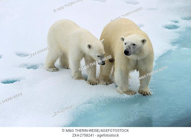 Mother polar bear (Ursus maritimus) with a cub on the edge of a melting ice floe, Spitsbergen Island, Svalbard archipelago, Norway, Europe