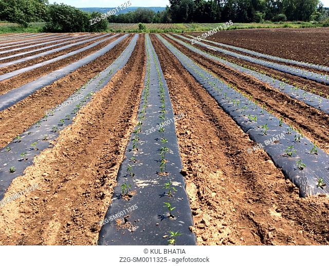 Saplings in black plastic tubes stretch to the horizon in a field, Nova Scotia