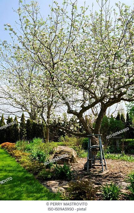 Wooden stepladder beneath a white flowering apple tree (malus domestica) in backyard garden in spring season