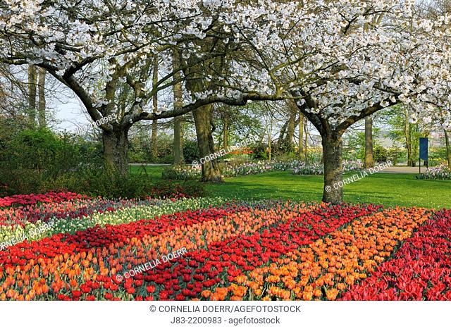 Formal garden design with Springtime flowerbeds of red and orange Tulips and Cherry Trees in background, Keukenhof Gardens, Lisse, Holland, Netherlands