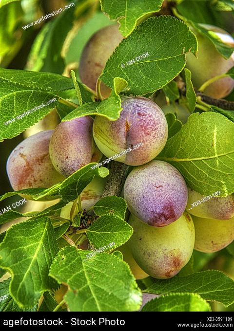 plum orchard near Lauzun, Lot-et-Garonne Department, Nouvelle Aquitaine, France