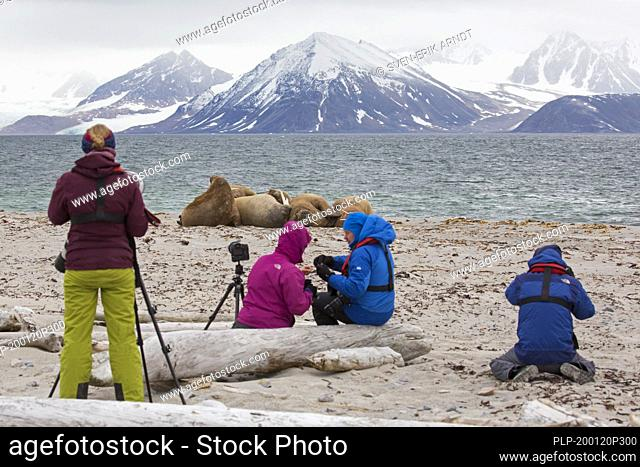 Eco-tourists watching and photographing walruses (Odobenus rosmarus) resting on the beach at Svalbard / Spitsbergen, Norway