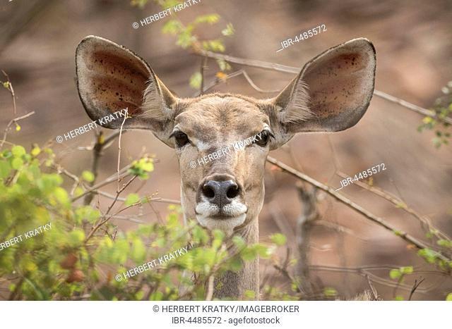 Greater Kudu (Tragelaphus strepsiceros), Kruger National Park, Republic of South Africa