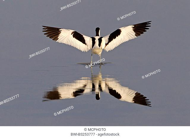 pied avocet Recurvirostra avosetta, standing in shallow water stretching the wings, Spain, Balearen, Majorca