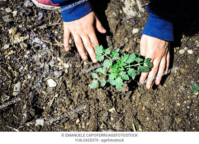 Closeup of hands of children while transplanting vegetable seedlings, preparation of the garden home