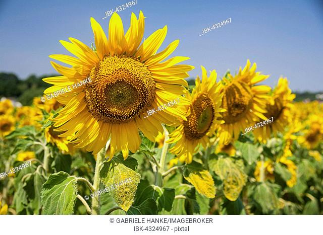 Sunflower (Helianthus annuus) in a field of sunflowers, Saxony, Germany