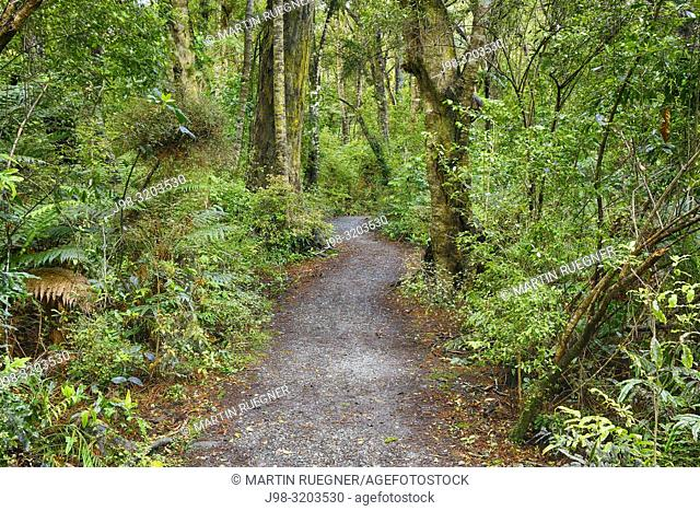 Footpath to Lake Wilkie through rainforest. The Catlins, Otago, South Island, New Zealand