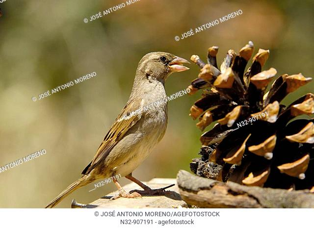 House Sparrow (Passer domesticus). Andujar, Jaen province, Andalusia, Spain
