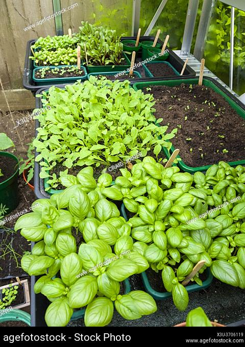 Basil, Rocket and other assorted salad leaf seedlings growing in an amateur gardener's greenhouse in spring