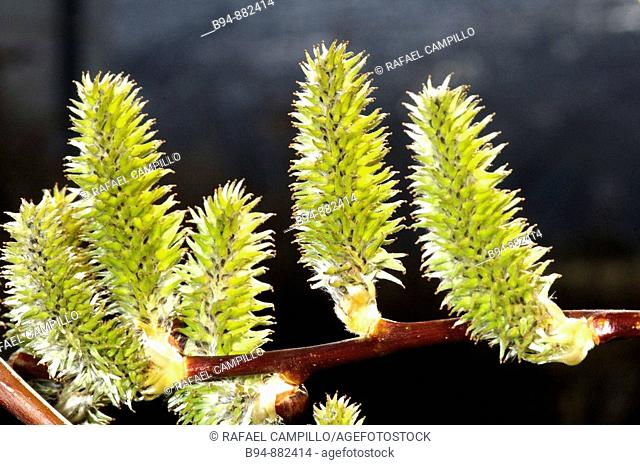 Willow (Salix sp.) catkins. Osseja, Languedoc-Roussillon, Pyrenees Orientales, France