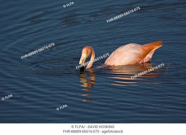 Greater Flamingo Galapagos race