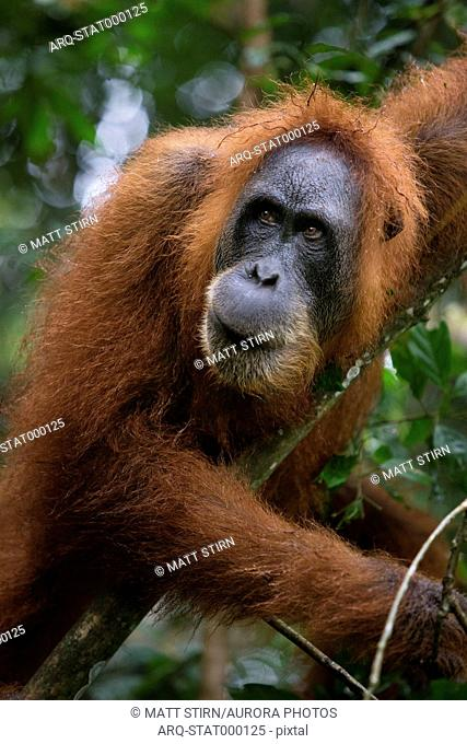 A critically endangered female Sumatran Orangutan in Gunung Leuser National Park near the tourist town of Bukit Lawang