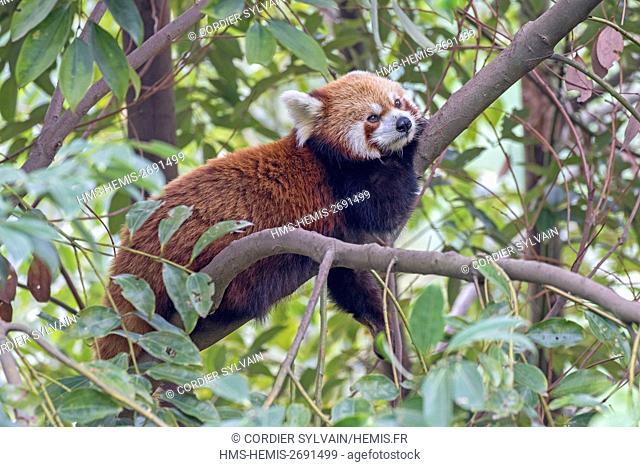 China, Sichuan, Research Base of Giant Panda Breeding or Chengdu Panda Base, Red Panda (Ailurus fulgens), captive, in a tree