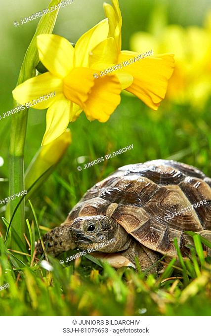 Young Mediterranean Spur-thighed Tortoise, Greek Tortoise (Testudo graeca) next to flowering Daffodils in spring