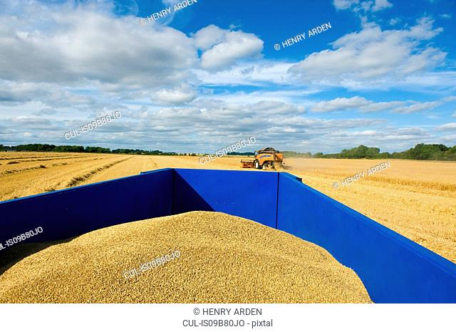 Combine harvester and tractor in field, harvesting wheat