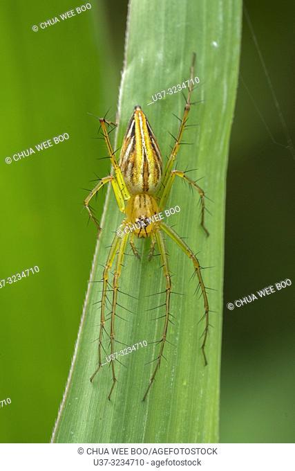 Lynx spider found at Kampung Satow, Sarawak, Malaysia