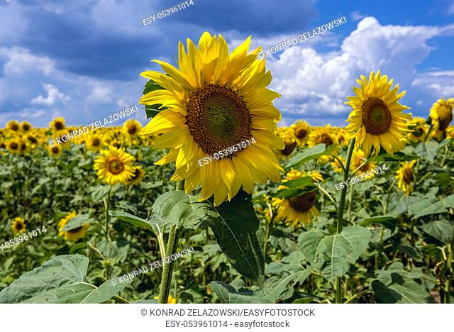 Field of sunflowers in Riscani District of Moldova