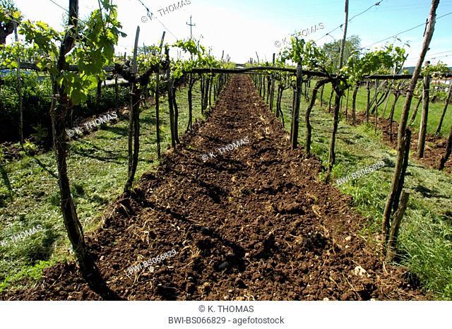 vineyard, Slovenia, Southern Slovenia