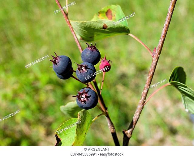 Ripe serviceberry on a bush macro, selective focus, shallow DOF