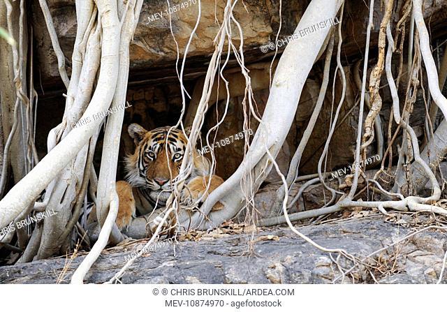 Tiger - resting amongst roots of Banyan Tree (Ficus benghalensis) (Panthera tigris). Ranthambhore National Park - Rajasthan - India