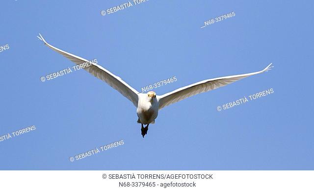 Cattle egret (Bubulcus ibis) in flight, S'Albufera, Majorca, Spain