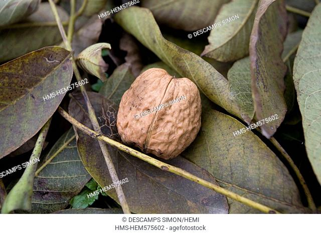France, Isere, South Gresivaudan, nuts on the ground in a field near Vinay in the production area of the AOC Grenoble walnuts