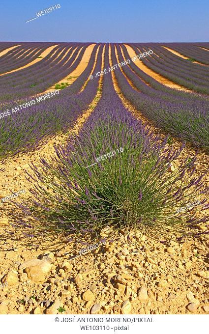 Lavender field in full blossom at Plateau de Valensole, Alpes-de-Haute-Provence, Provence-Alpes-Côte d'Azur, France