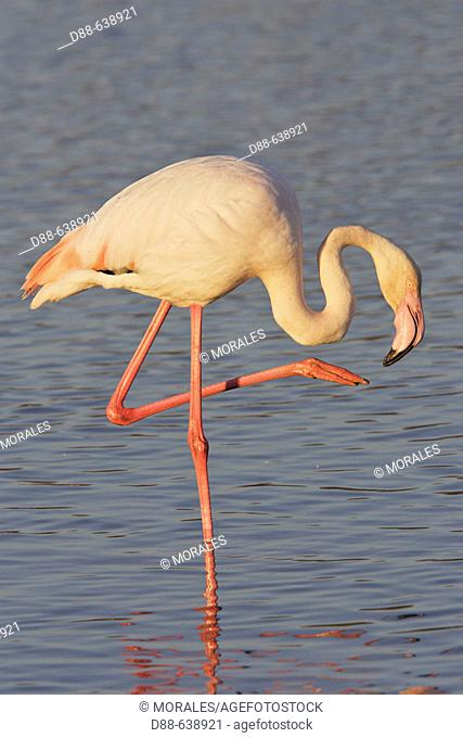 Greater Flamingo (Phoenicopterus ruber). Bouches du Rhone. France