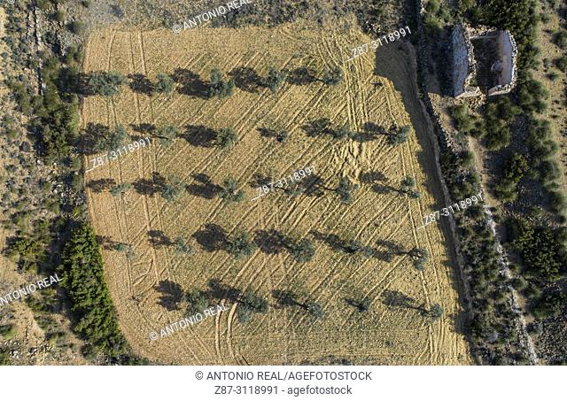 Olive trees (Olea europaea). Dron view. Almansa. Albacete. Spain