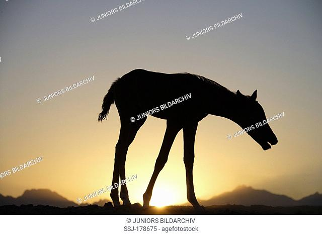 Arab Horse, Arabian Horse. Foal walking in the desert while coughing, silhouetted against the setting sun