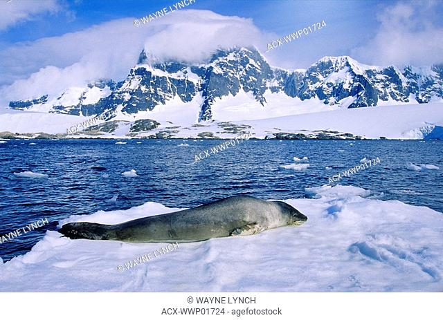 Leopard seal Hydruga leptonyx resting on a fragment of pack ice, Cuverville Island, Antarctic peninsula