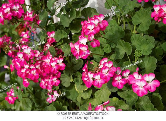 Garden Geranium flower, Spain