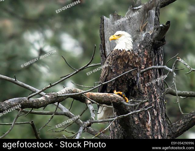 A large bald eagle is perched on a branch by Coeur d'Alene, Idaho