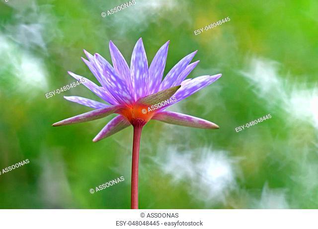 Water Lily Lotus Nymphaea lotus Star Bokeh