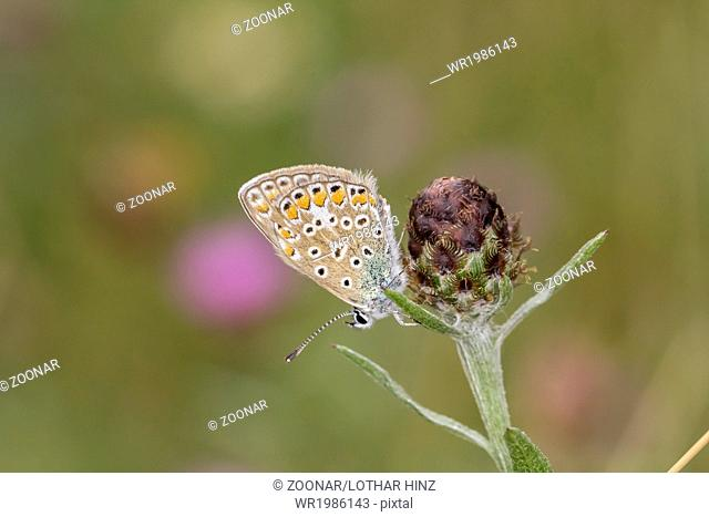 Polyommatus icarus, Common Blue butterfly, Germany
