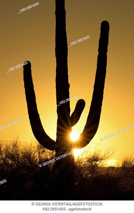 Saguaro sunrise, Ironwood Forest National Monument, Arizona