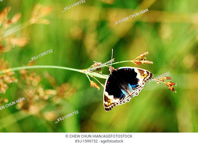 Butterfly, Blue pansy Junonia orithya wallacei, Borneo, Asia