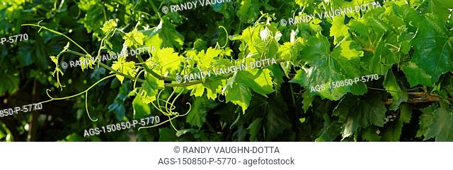 Agriculture - Closeup of a backlit grapevine cane showing mid-summer foliage growth / CA - Fresno Co