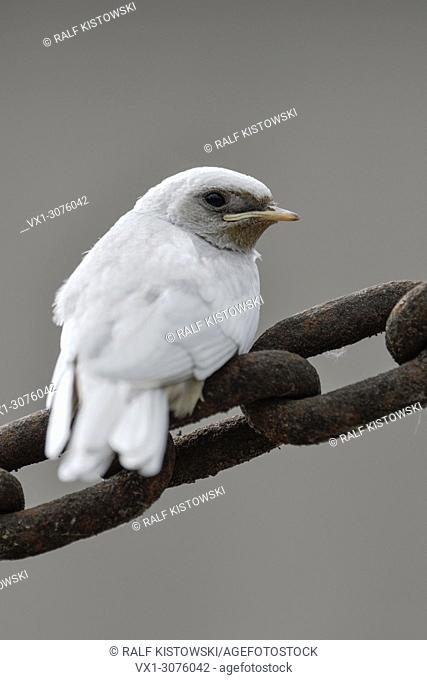 Barn Swallow ( Hirundo rustica ), fledged, white plumage, gene mutation, leucistic, leucism, perched on a massive chain, backside view