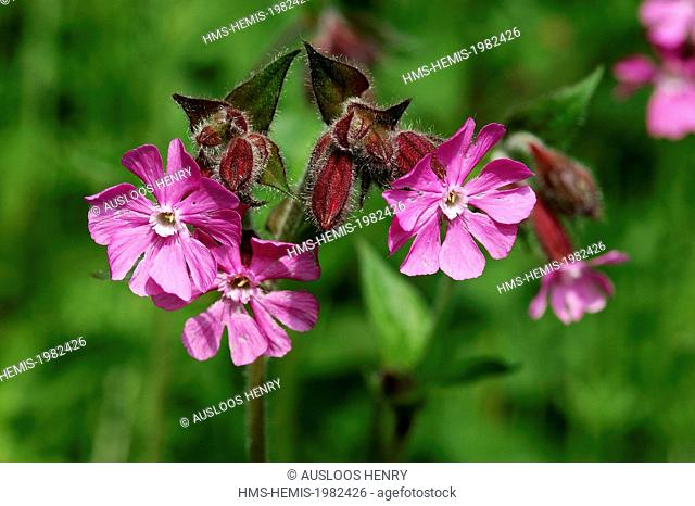 Mate or red campion (Silene dioica)