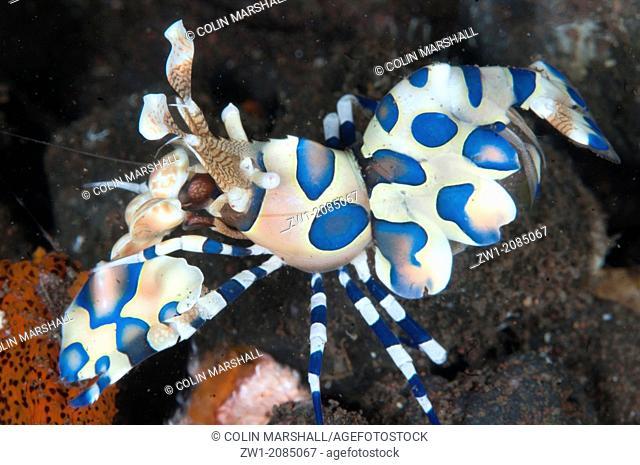 Harlequin Shrimp (Hymenocera elegans) eating Sea Star (Linckia laevigata) at Seraya in Bali in Indonesia