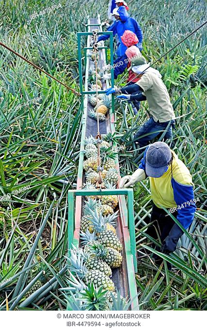 Workers putting pineapples on a conveyor belt, Costa Rica
