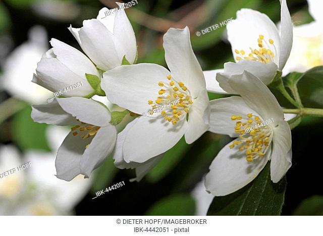 English dogwood or sweet mock-orange (Philadelphus coronarius) flowers, Bavaria, Germany
