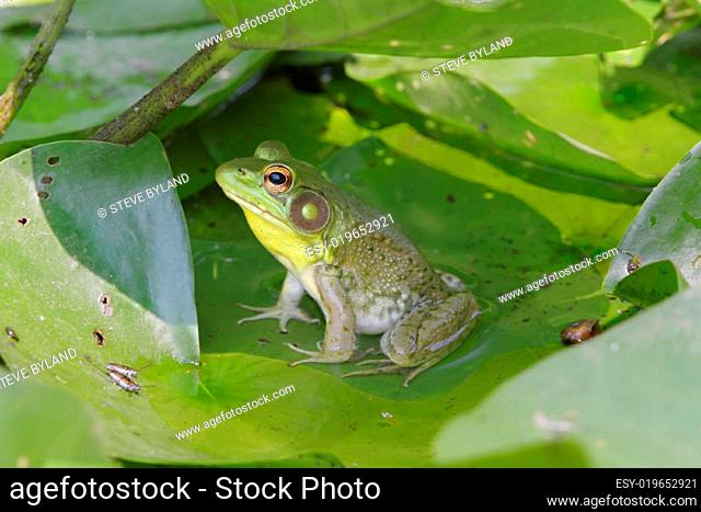 Green Frog (Rana clamitans) on a lily pa