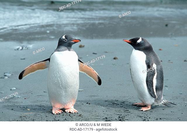 Gentoo Penguins Godthul South Georgia Pygoscelis papua /