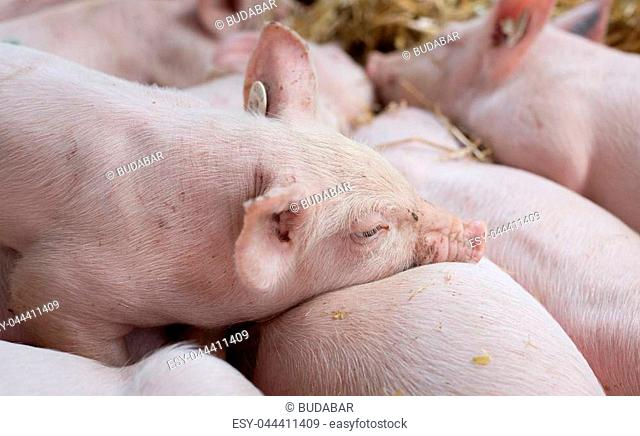 Close up of cute piglets sleeping on straw after suckling
