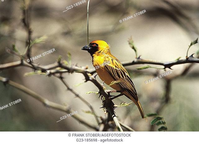 Village Weaver (Ploceus cucullatus). Namibia