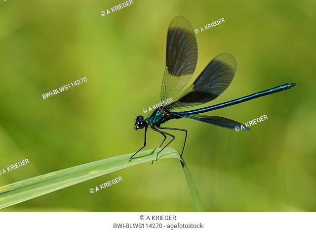 banded blackwings, banded agrion, banded demoiselle Calopteryx splendens, Agrion splendens, male, Germany, Saarland, Habkirchen
