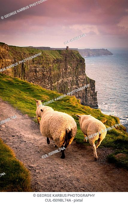Sheep on rural pathway, Cliffs of Moher, Doolin, Clare, Ireland